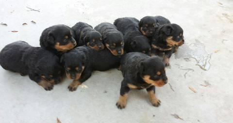 AKC German Rottweilers puppies