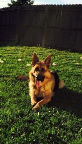 Dog Training Springfield Mo
