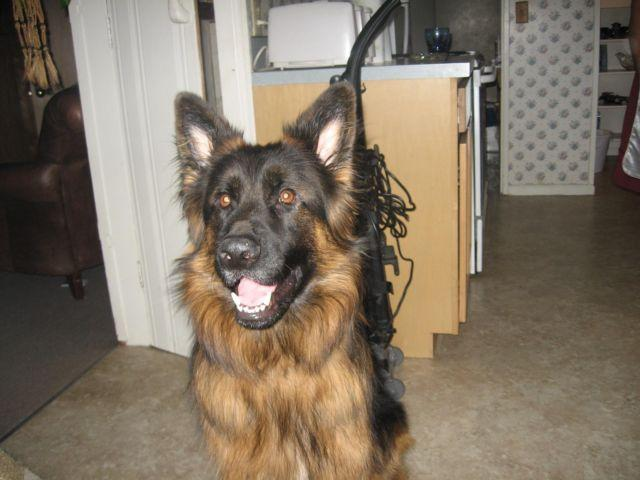 german shepherd neutering akc german shepherd 3 yr neutered male for sale in agnew 2148