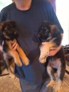 AKC German Shepherd Christmas Puppies