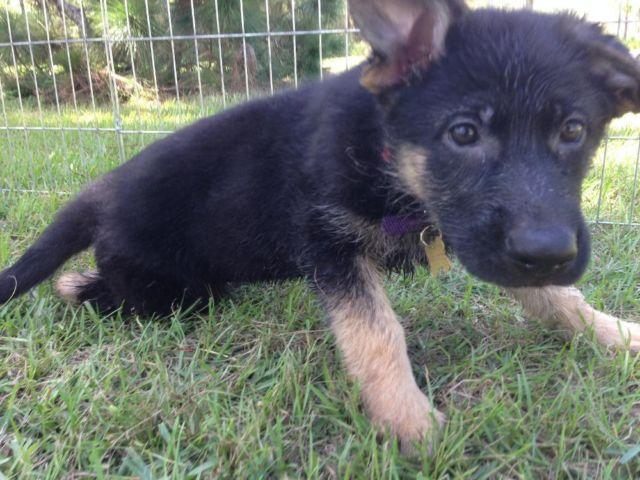 german shepherd 12 weeks akc german shepherd female puppy 12 weeks health guarantee 2906