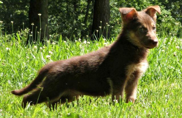 Akc German Shepherd Liver Tan Puppy For Sale In Pegram