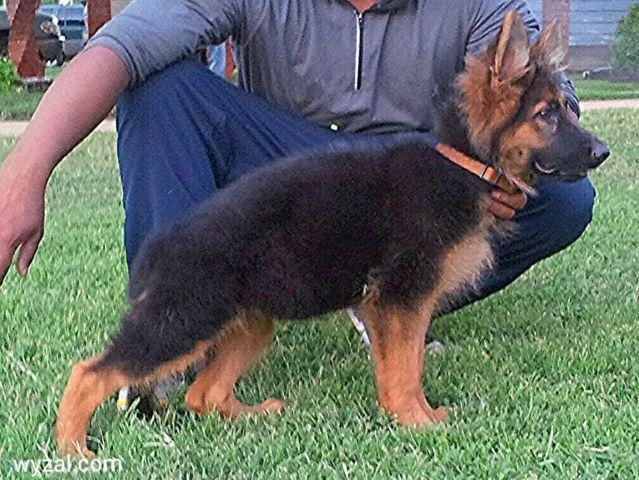 Akc black and red german shepherd puppy in santa clarita dog breeds
