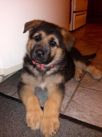 Akc German Shepherd Puppies 7 Weeks Old For Sale In