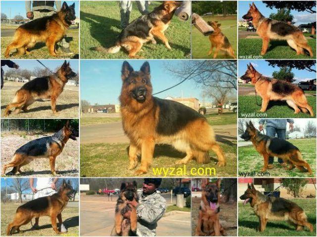 AKC German Shepherd puppies 9 wks  puppies OFA certified/ DM