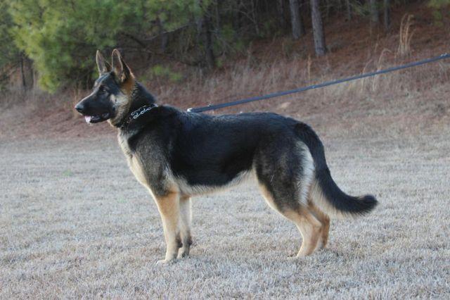 Akc German Shepherd Puppies For Sale In Woodruff South Carolina
