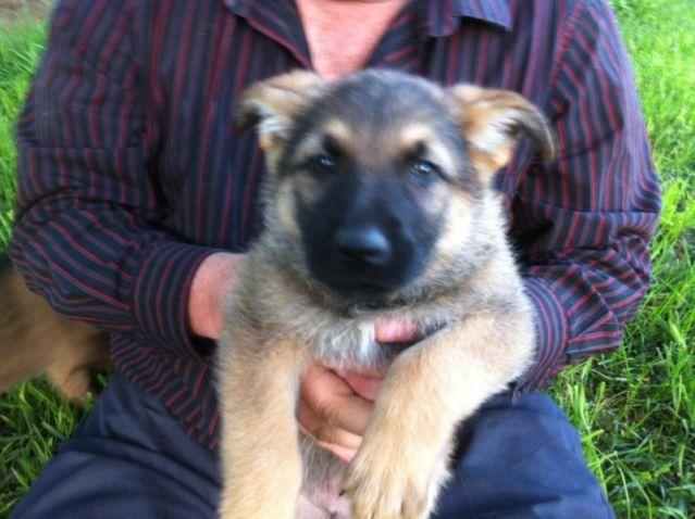 Akc German Shepherd Puppies For Sale In Franklin New Hampshire