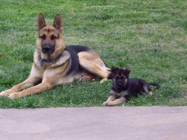 AKC German shepherd puppies for Sale in Cary, North Carolina