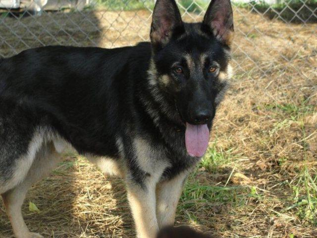 akc german shepherd puppies for sale in cleveland. Black Bedroom Furniture Sets. Home Design Ideas