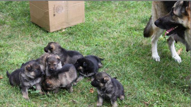 German Shepherd Husky Puppies For Sale In Michigan Classifieds Buy