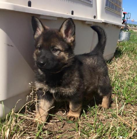 Akc German Shepherd Puppies For Sale In Franktown Colorado