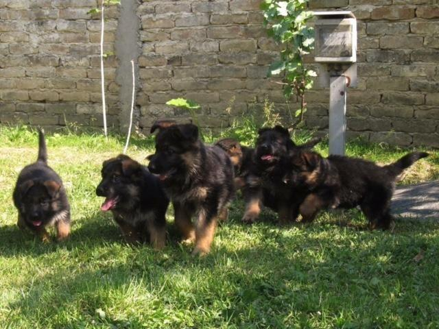AKC GERMAN SHEPHERD PUPPIES BLACK AND RED.
