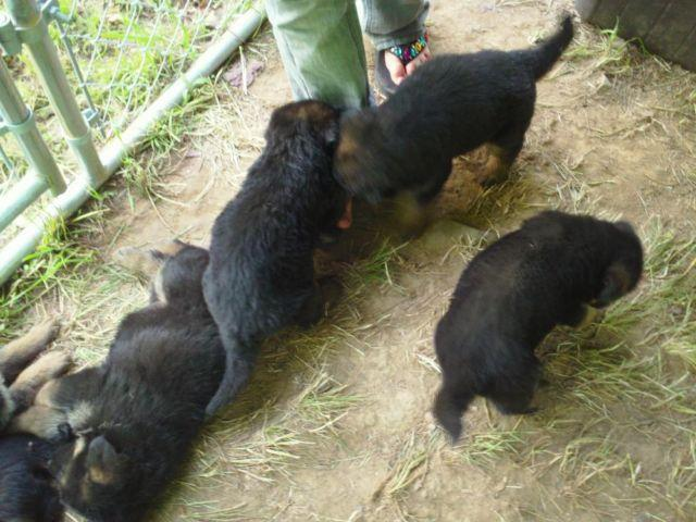 AKC German Shepherd Puppies - Black & Red - Adorable
