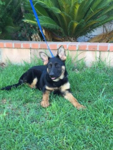 AKC GERMAN SHEPHERD PUPPIES FOR SALE....