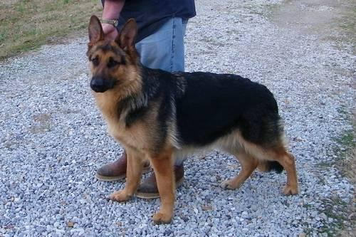 Akc German Shepherd Puppies For Sale In Ms For Sale In Bowman