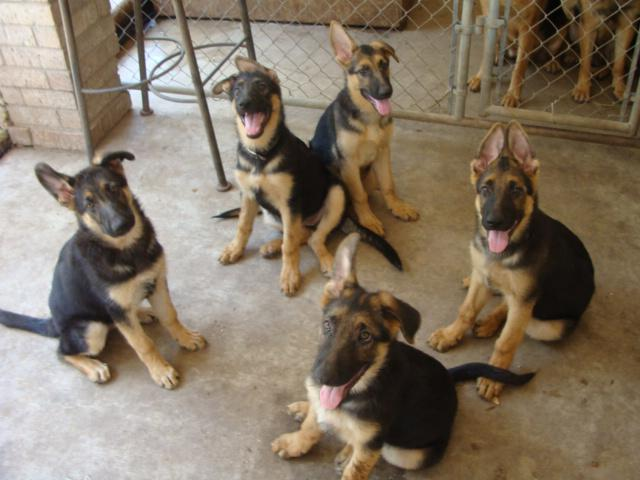 English Mastiff Puppies Pets And Animals For Sale In Mcallen Texas