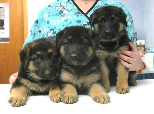 Service Dogs For Sale Mn
