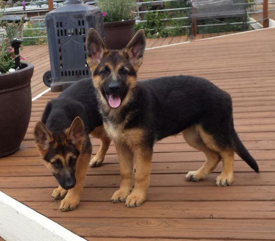 german shepherd standard akc german shepherd puppies liver standard colors for 372