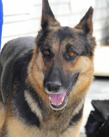 Akc German Shepherd Puppies Louisville Kentucky For Sale In