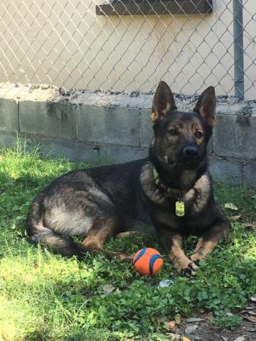 German Sheper For Sale In Magnolia Texas Classifieds Buy And Sell