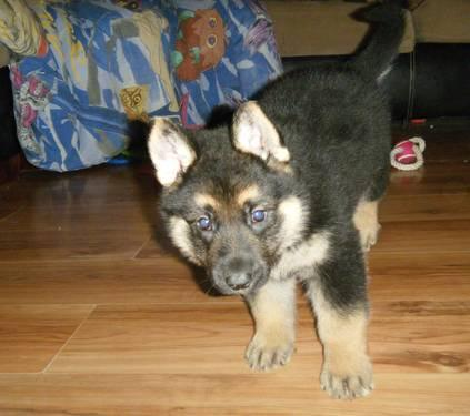 Akc German Shepherd Puppies Shots House Raised Puppy Care Packs
