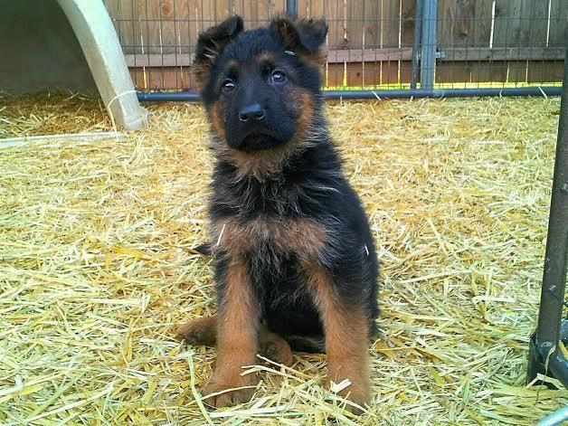 AKC German shepherd puppy/puppies BLACK/RED IMPORTS WORLD CHAMPION PED