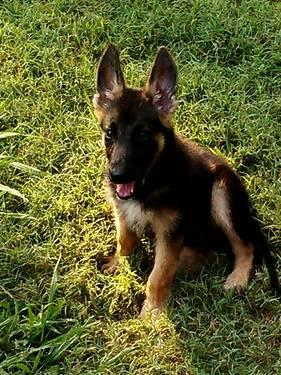 AKC GERMAN SHEPHERD PUPS FOR SALE