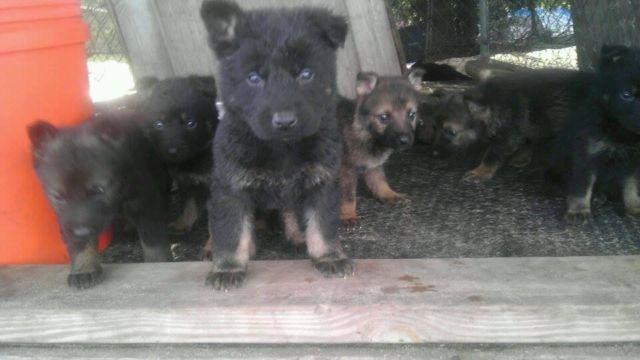 AKC GERMAN SHEPHERDS