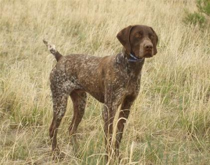 Akc German Shorthaired Pointer Puppies For Sale In Montrose