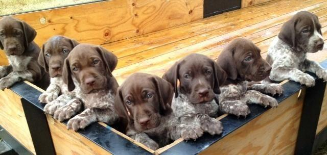 Pointer Puppies For Sale In Texas Classifieds Buy And Sell In