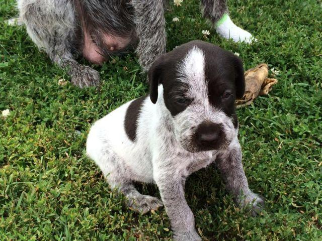 Akc German Wirehaired Pointer Puppies For Sale In Hepburn Ohio