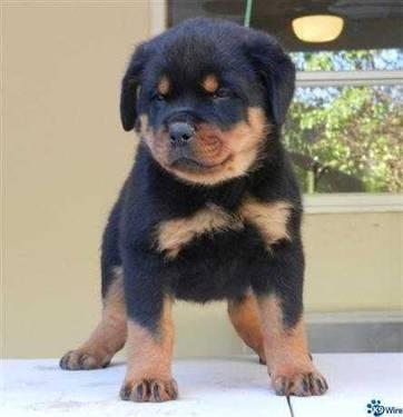 akc German Yugoslavian Rottweiler puppies PUPPIES HAVE ARRIVED