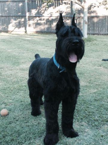 Akc Giant Schnauzer Puppies For Sale In Forney Texas