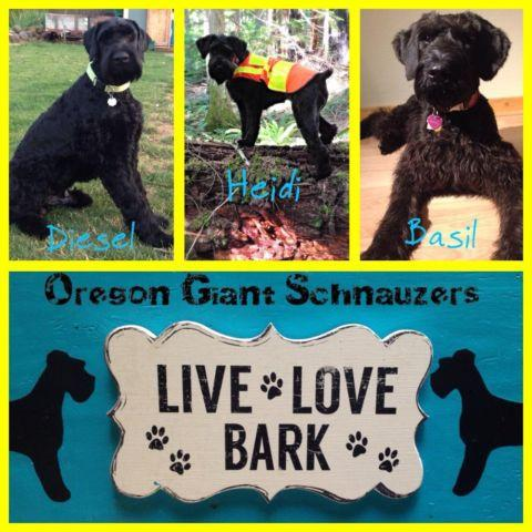 Akc Giant Schnauzer Puppies For Sale For Sale In Oregon City Oregon