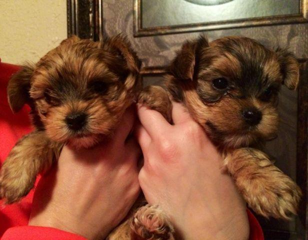 AKC Golden Parti Carrier Yorkies!!