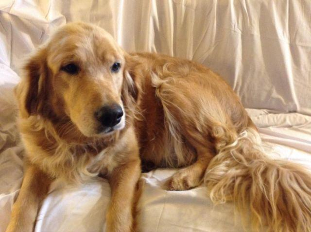 Adult female golden retriever for sale
