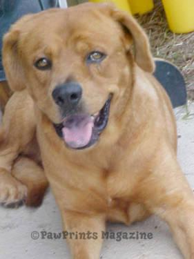 AKC Golden Retriever at stud for Sale in Wilmington, North