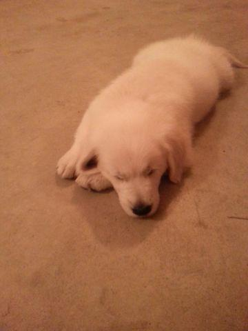 AKC Golden Retriever (English Cream)