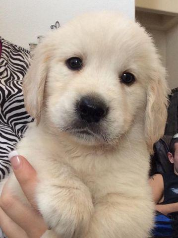 Golden Retriever Mix Dogs Pets And Animals For Sale In Mckinney