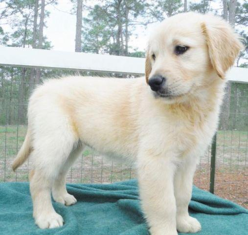 English Cream Golden Retriever Puppies Pets And Animals For Sale In