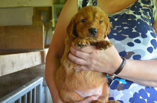Akc Golden Retriever Puppies 2 Weeks Old For Sale In Centralia Kansas Classified