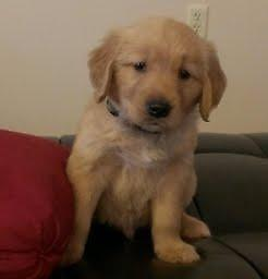 AKC Golden Retriever Puppies ADORABLE!!!