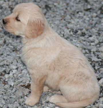 Akc Golden Retriever Puppies Adorable Good Blood Lines Good W