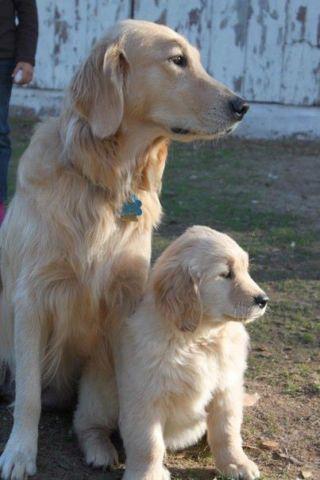 Akc Golden Retriever Puppies For Sale In Redding California