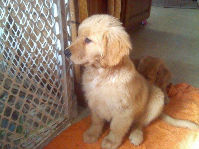 Akc Golden Retriever Puppies For Sale In Janesville