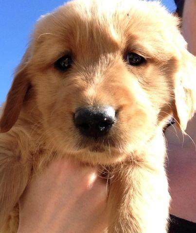 golden retriever puppies for sale in kentucky akc golden retriever puppies for sale in clover bottom 4996