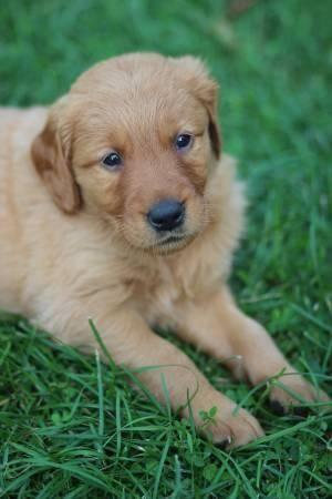 Akc Golden Retriever Puppies For Sale In Lonsdale Minnesota