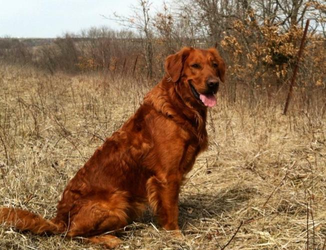 golden retrievers puppies for sale in iowa classifieds buy and