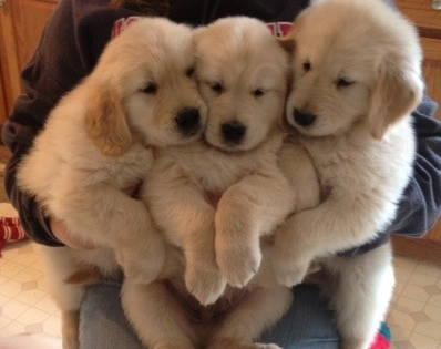Golden Retriever Breeders In Ma AKC GOLDEN RETRIEVER P...