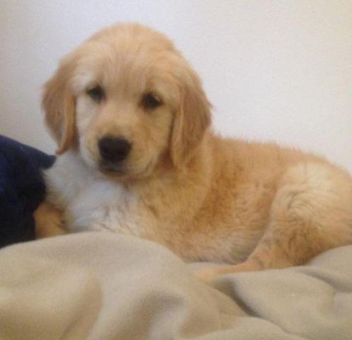 AKC Golden Retriever Puppy Ready Now!